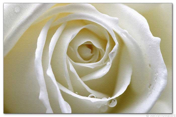 Wandbild Jack Dyrell WET WHITE ROSE