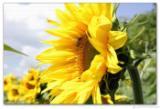 Wandbild Jack Dyrell SUMMERTIME - SUNFLOWER