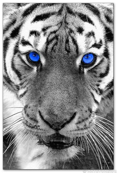 Wandbild Jack Dyrell WHITE TIGER - BLUE EYES