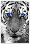 Wandbilder Jack Dyrell WHITE TIGER - BLUE EYES