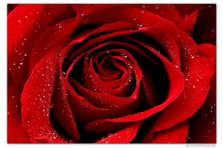 Wandbild Jack Dyrell WET RED ROSE