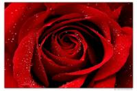 Wandbilder Jack Dyrell WET RED ROSE